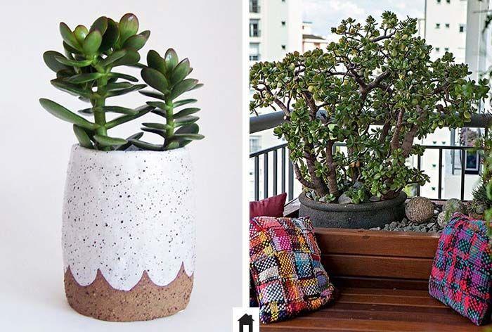 Jade, conheça esta e mais 25 plantas resistentes ao sol.                                                                                                                                                                                 Mais