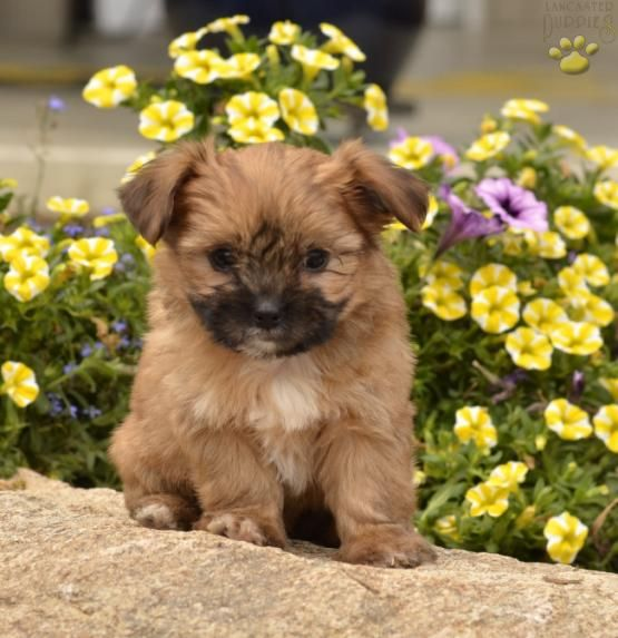 Kody - Shorkie Puppy for Sale in Shreve, OH | Lancaster Puppies