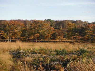 Beautiful Dunwich Forest in the Autumn, ready for the deer to rut. The Frugal Deer