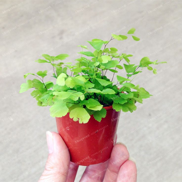 Hot Selling Adiantum capillus Maidenhair Fern Seeds  Cultivation Is Easy Suitable For Indoor Perennial Potted Ornamental 100 Pcs-in Bonsai from Home & Garden on Aliexpress.com | Alibaba Group