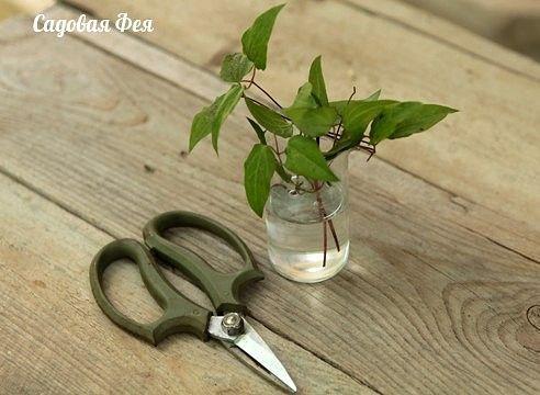 Существуют два способа вегетативного размножения клематисов.    В первом случае — новое растение укореняется до момента его отделения от старого куста (деление куста, окучивание побегов, отводки)…