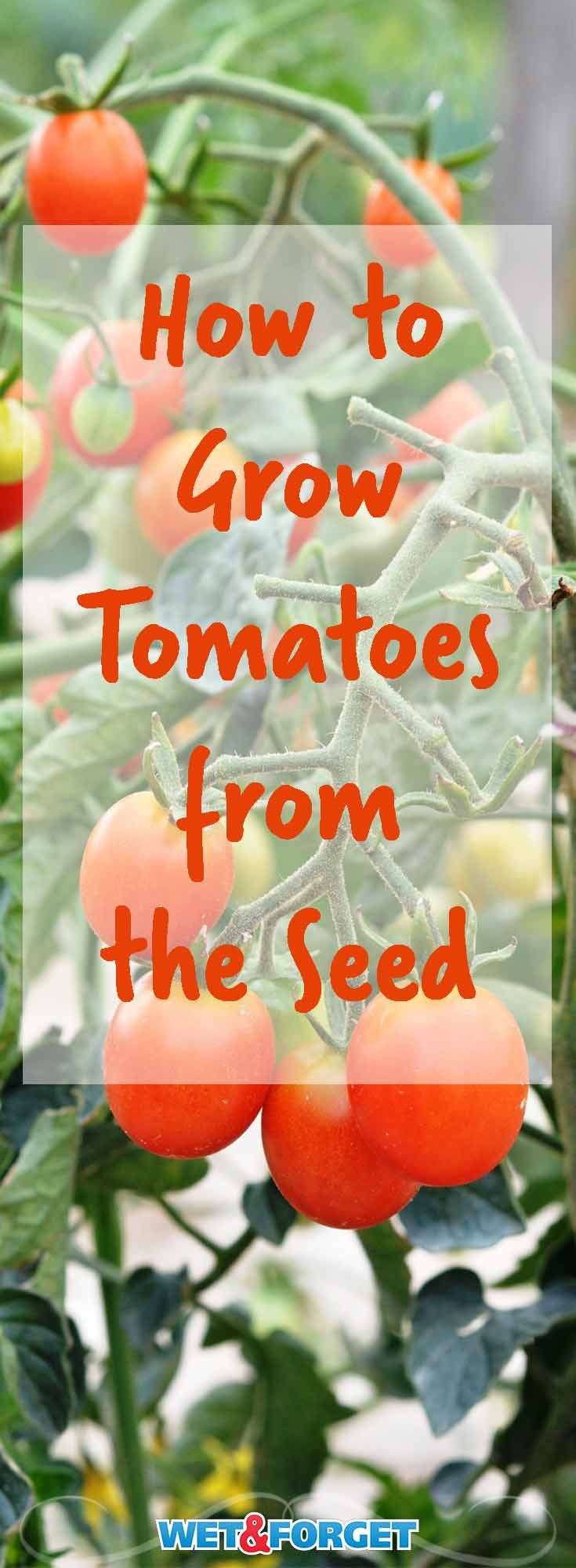 Set yourself up for a fruitful garden by growing tomatoes from the seed! Learn all the quick tips and tricks to save money and grow healthy tomatoes from the seed.
