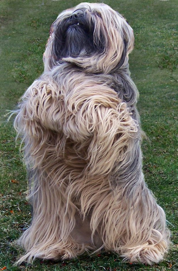 Lhasa Apso   Pictures, Information, and Reviews