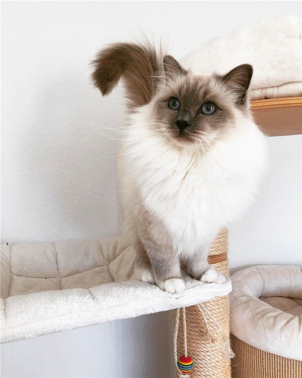 Ragdolls Are the Best! (The Best Cats Ever)