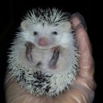 Pinto face pygmy hedgehog