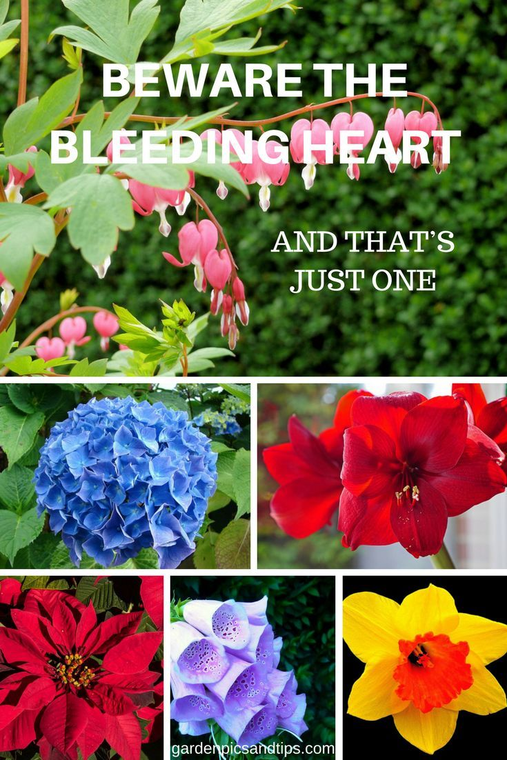 These Attractive Plants Are Fine To Look At But Are Toxic To A Greater Or Lesser Extent Especially To Pet Bleeding Heart Flower Quotes Organic Vegetable Garden