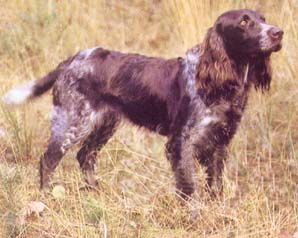 German Spaniel - Deutscher Wachtelhund ♥