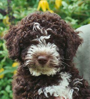 Lagotto Romagnolo Puppy Picture