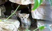Pelo Mundo - Gato do deserto está desaparecendo do planeta | globo.tv