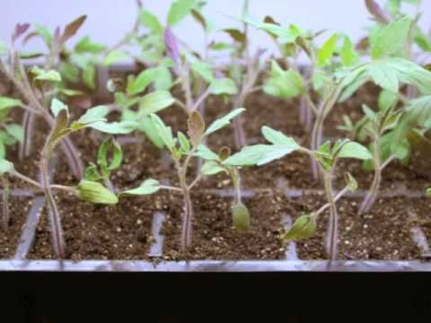 Step by Step: Growing Tomatoes from Seed - YouTube