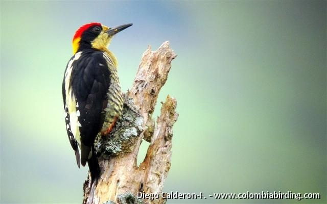 how to catch a woodpecker