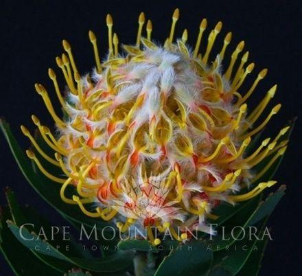Floral eduction: hybrid Protea species.