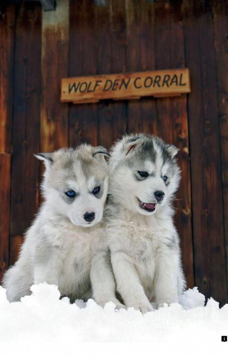 Pin By Hailey Martin On Huskies In 2020 Husky Puppy Teddy Bear