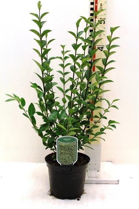 368 beste afbeeldingen over planten op pinterest. Black Bedroom Furniture Sets. Home Design Ideas