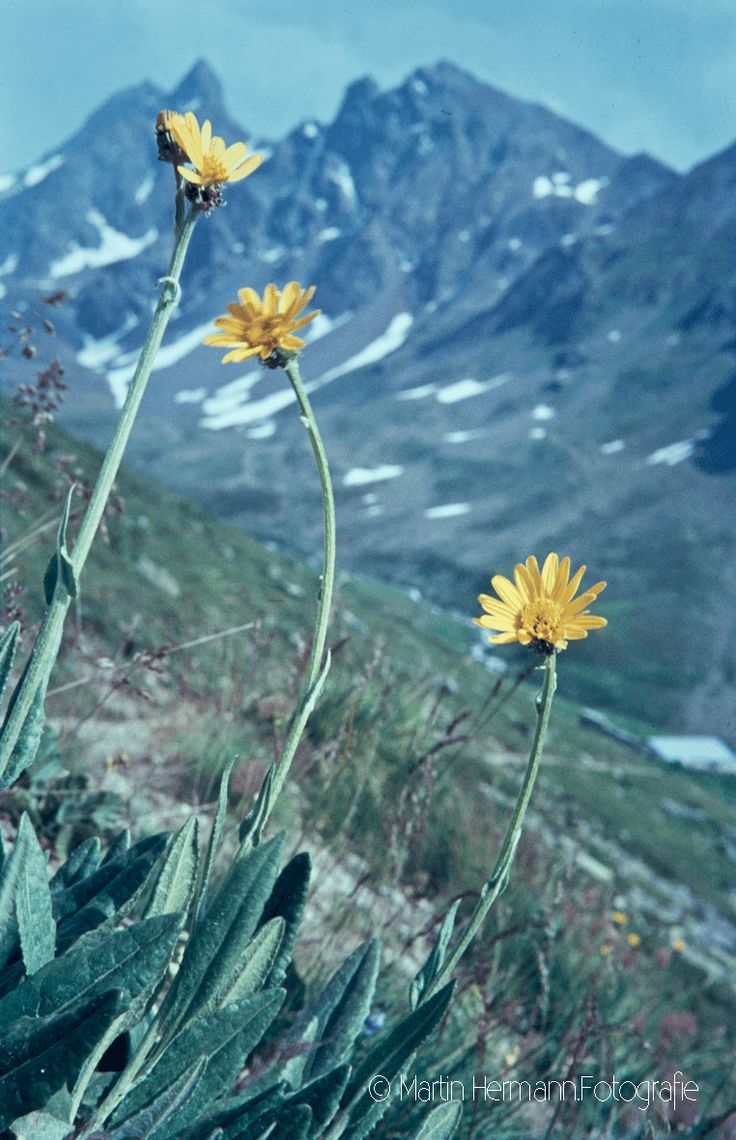 Gemswurz-Kreuzkraut-Senecio-doronicum-(Muottas-muragl-Samedan-1967)