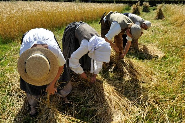 Re-enactment of harvest by hand as shown at Frilandsmuseet, Copenhagen, Denmark. My grandmother would have worked in this way as a young girl, to earn her meals at a farm.