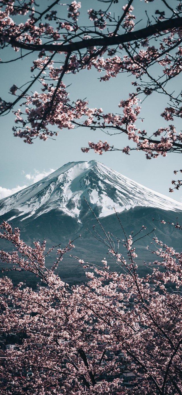 Mt Fuji With Sakura In Japan 2121x4592 Phonewallpapers Iphone Wallpaper Mountains Japanese Wallpaper Iphone Cherry Blossom Wallpaper