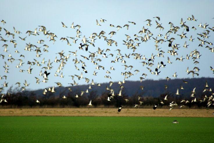 Efterårs træk fugle på Langø, Lolland