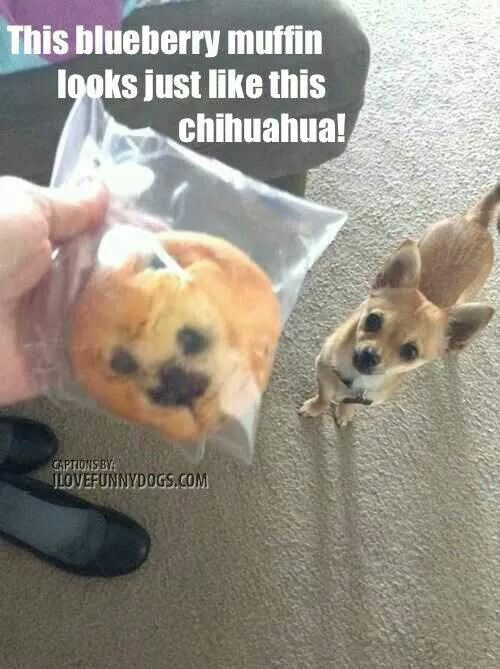 blueberry muffin or chihuahua this blueberry muffin looks like this chihuahua funny 6071