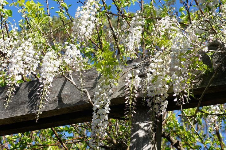 Stunning Wisteria near the Rose Garden in Spring at Merribee www.merribee.com.au