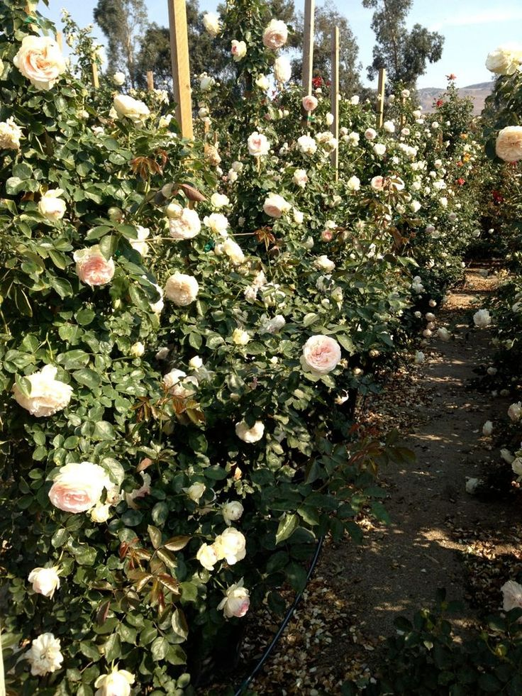 I selected reliable and and white Iceberg Rose