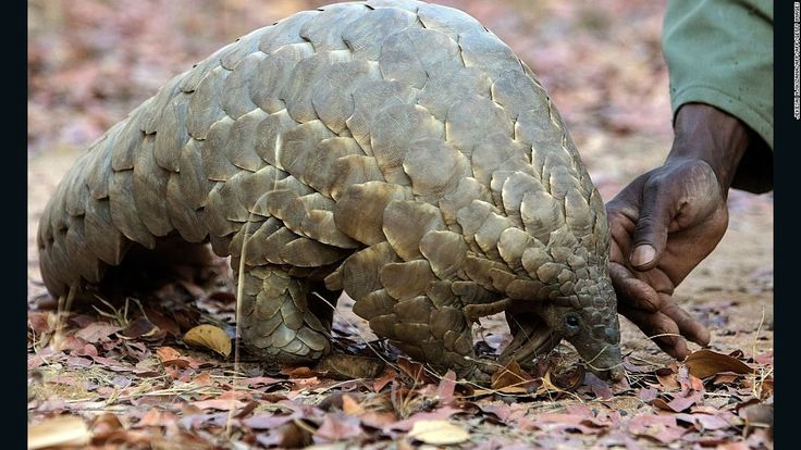 Chinese officials seize record number of pangolin scales - CNN.com