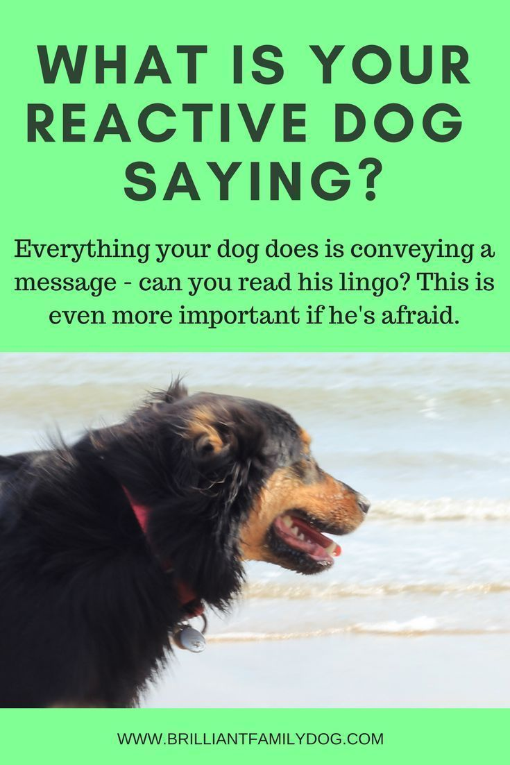 What Is Your Reactive Dog Saying Reactive Dog Aggressive Dog