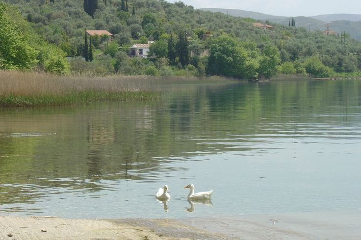 Lake Trichonida is the largest natural lake in Greece. It is situated in the eastern part of Aetolia-Acarnania, southeast of the city of Agrinio. Economidichthys trichonis, the Trichonis dwarf goby, (or Nanogoviós), is a species of goby endemic to Lake Trichonis. Males of this species can reach a length of 3 cms (1.2 in) while females grow to 2.7 cms (1.1 in). - - - Η Λίμνη Τριχωνίδα (Αιτωλοακαρνανίας) είναι η μεγαλύτερη λίμνη της Ελλάδας. - Ένα είδος ψαριού, που απαντάται μόνον στην λίμνη…