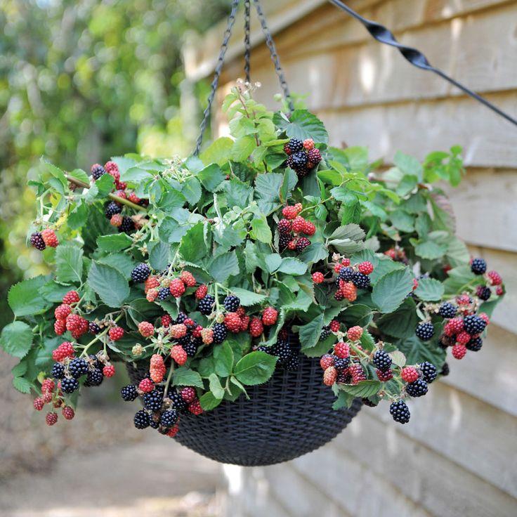 Blackberry 'Black Cascade' – Other Berry Plants – Van Meuwen