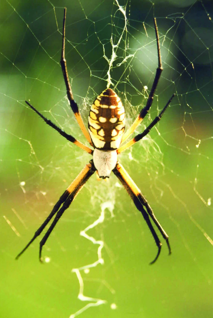 Is this a black footed yellow sac spider i found it in my apartment - Pictures Of Spiders Black Widow Images Brown Recluse Photos More