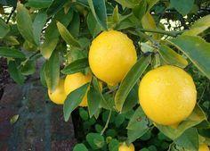 Come seminare un albero di limoni: bastano semplici accorgimenti per avere sempre a portata di mano quei preziosi frutti che fanno tanto bene alla nostra salute.