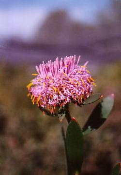 Isopogon cuneatus • Australian Native Plants • Plants • 800.701.6517