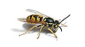 Natural, Non-toxic Wasp Control, Wasp Traps, Wasp Repellents | Eartheasy.com