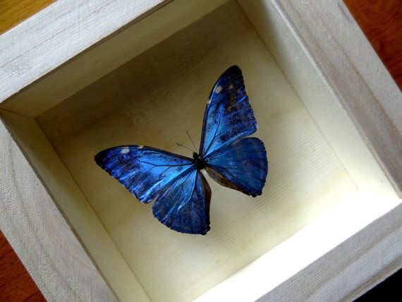 Morpho Adonis Male From PERU Framed - Taxidermy - Home Decoration - Collectibles