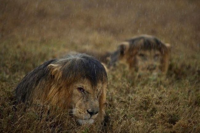Lions in the rain, Tanzania Some of The best Photography of the Year - Editor's Choice | Bored Daddy