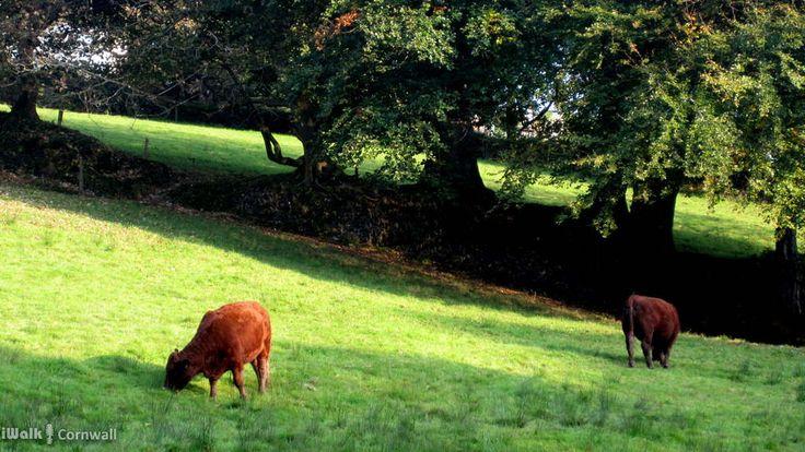 River meadows near Camelford, Cornwall