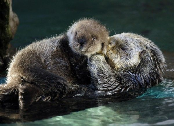 From a Seattle Times blog, sea otters from the Seattle Aquarium
