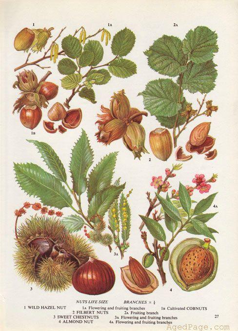Küche Wandkunst botanischen drucken Nut Illustration von AgedPage
