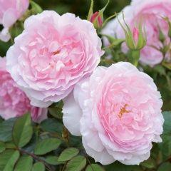 Lady Salisbury - David Austin Roses