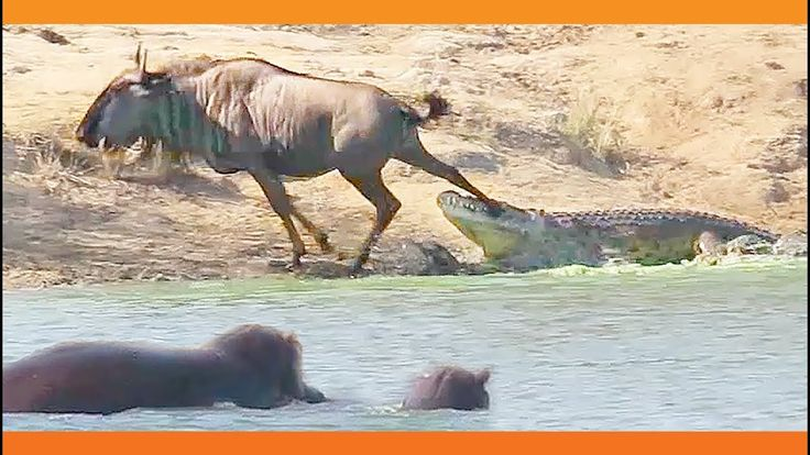 Roundup: Hippo Saves Beast From Jaws of a Crocodile; Lowest-Rated Preseason Game in 13 Years; & Iceland's Tourism Headache