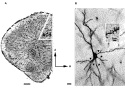 Golgi-Cox technique: Differential emotional experience induces elevated spine densities on basal dendrites of pyramidal neurons in the anterior cingulate cortex of Octodon degus