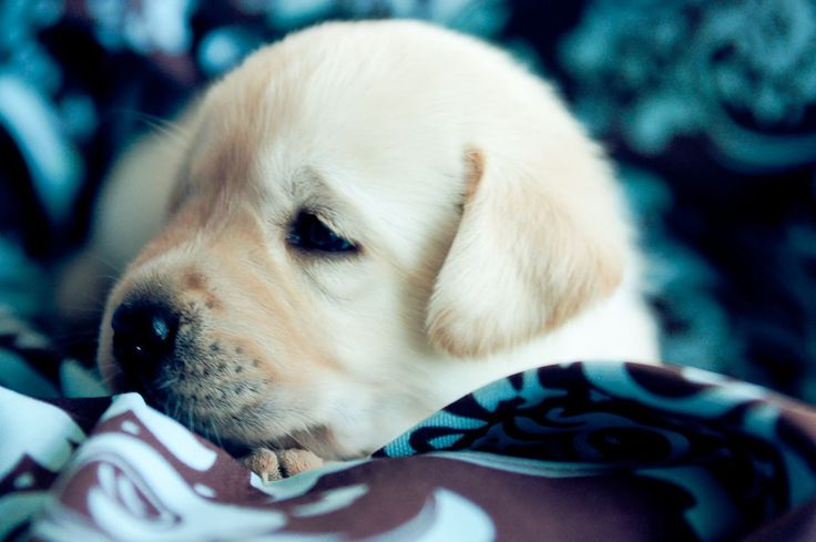 White english lab puppy - I WILL have one of these - oh yes, I WILL!
