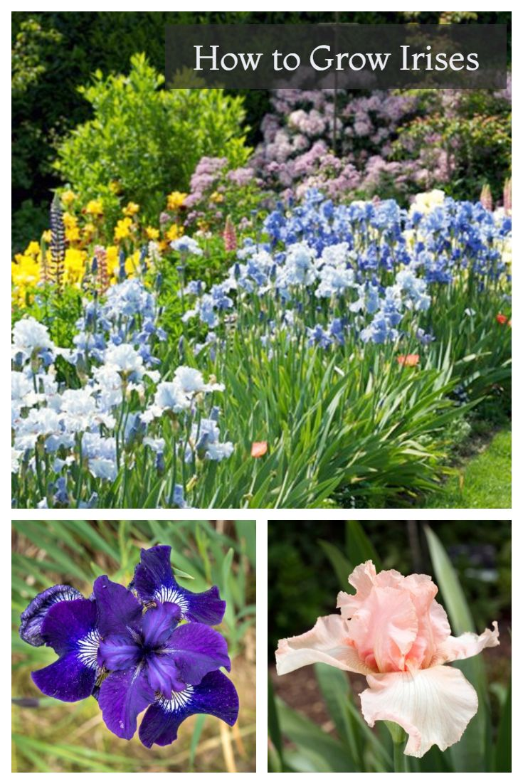Growing Irises Planting Caring For Iris Flowers Iris Flowers Growing Irises Flower Garden Design