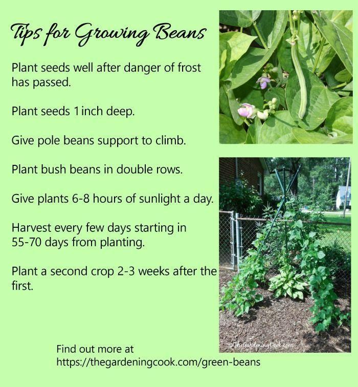 Growing Green Beans Pole Beans Vs Bush Beans Growing Green Beans Bush Beans Growing Beans