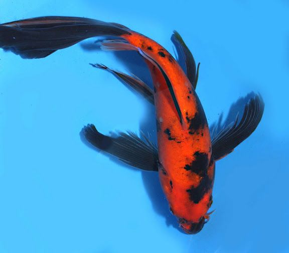 Butterfly koi images reverse search for Yellow koi fish for sale