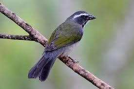 Trinca ferro_Brazilian Birds