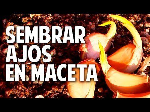 Como plantar ajo en maceta - Tan facil que me da verguenza @cosasdeljardin - YouTube