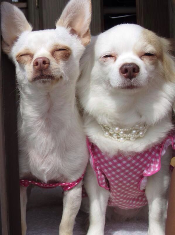 Short and long hair chihuahuas chillin on a summer day :)