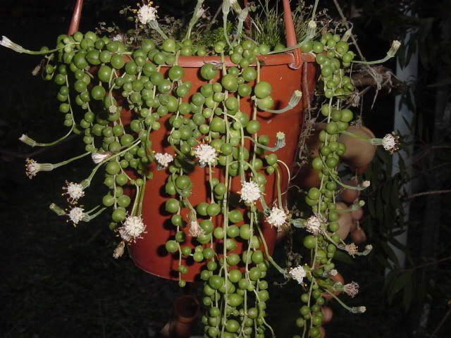 Planta rosario o bolitas colgantes su nombre cient fico - Plantas colgantes interior ...