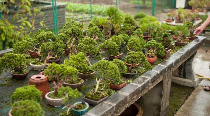 China, Changzhou mini bonsai nursery – 2014 – Morten Albek – Shohin Bonsai blog